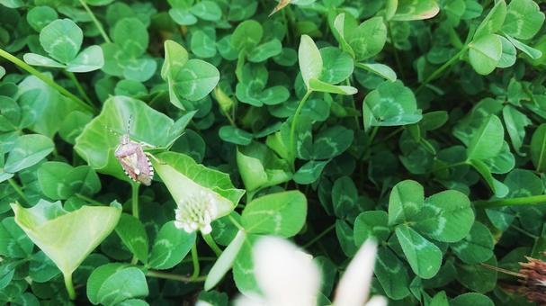 Dolycoris bacillus Stink bug Insect clover Kurowa