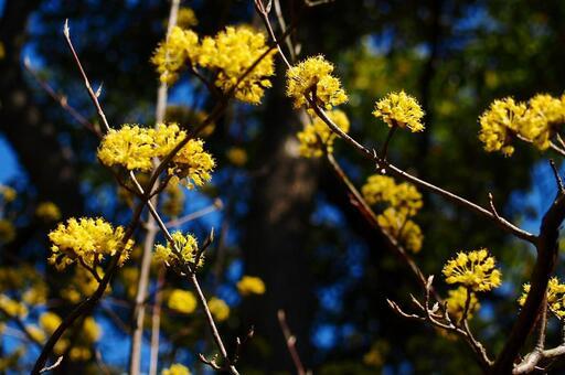 산수유 · 초봄의 꽃 [약용 식물 · 한방]