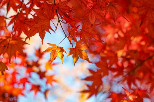 Bright red maple and blue sky