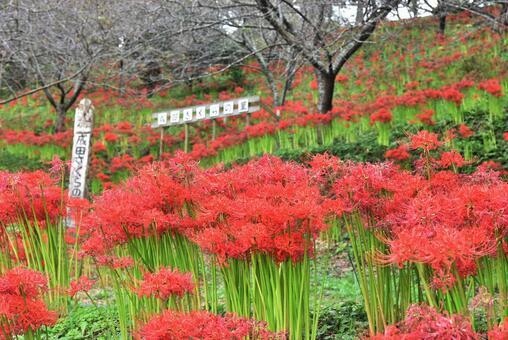 피안 꽃 나리타 벚꽃의 마을