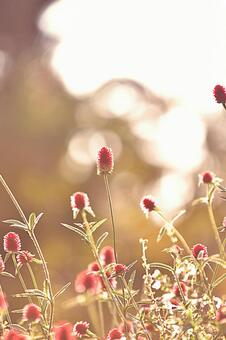 Sennichikou flower
