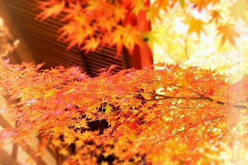 秋季壁紙與閃閃發光的秋葉楓