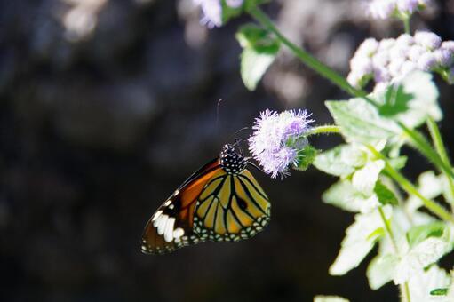 별 선두리 왕 나비 02