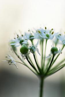 Pretty white flowers of garlic that bloom in the garden