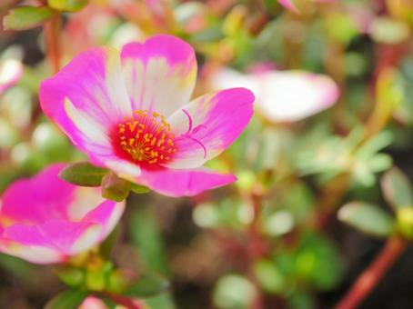 Portulaca 5 White and Pink