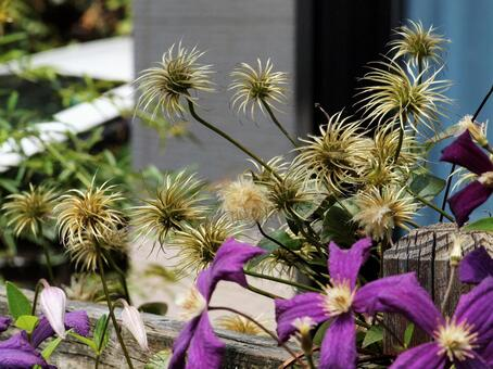 The life of clematis