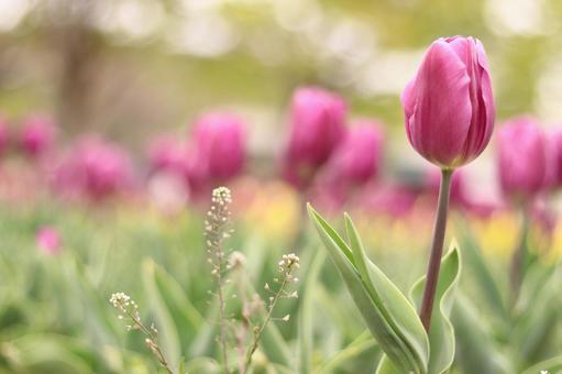 Tulip 22