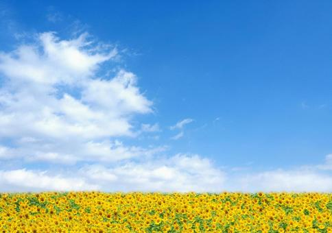 Blue sky and sunflower field Summer image 3