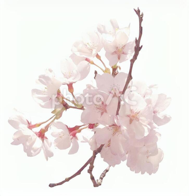 psd桜202003の写真