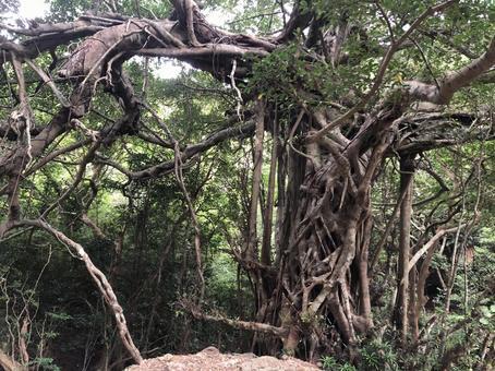Large banyan tree (horizontal)