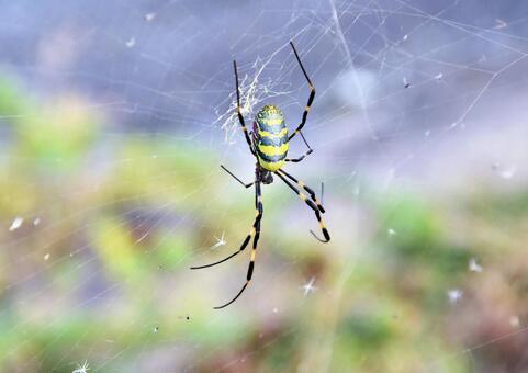 Spider web and Nephila clavata