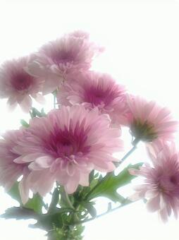 Pink gradation chrysanthemum 5