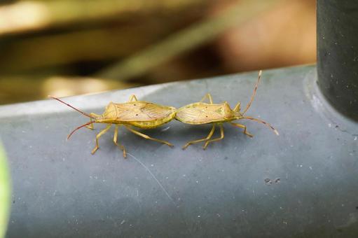 Stink bug mating