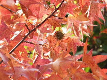 Autumn leaves (American Fu / Sweetgum / Autumn leaves Kaede)