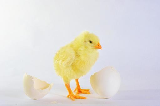 白背蛋壳和小鸡9