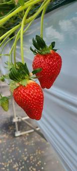 대형 딸기