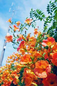 여름 하늘과 능소화