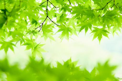 Fresh green and blue maple