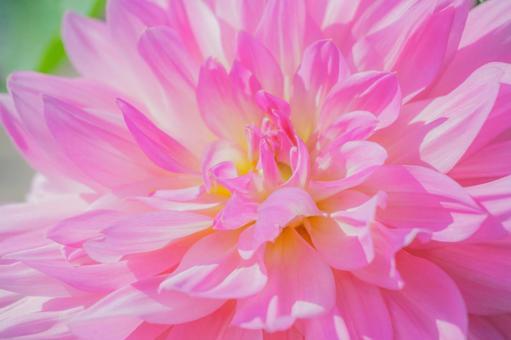 Large pink dahlia up