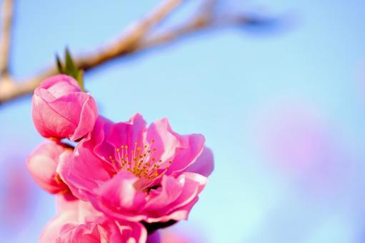 花桃の開花