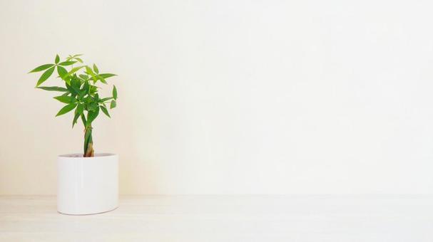 觀賞植物 (Pachira) 白桌背景 16:9