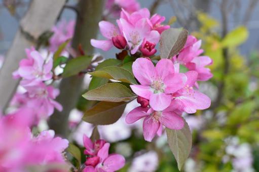핑크 나무 꽃 봉오리