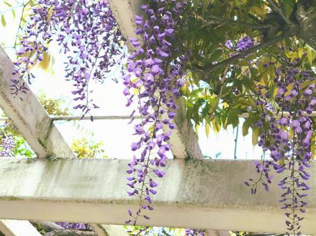 등나무 꽃
