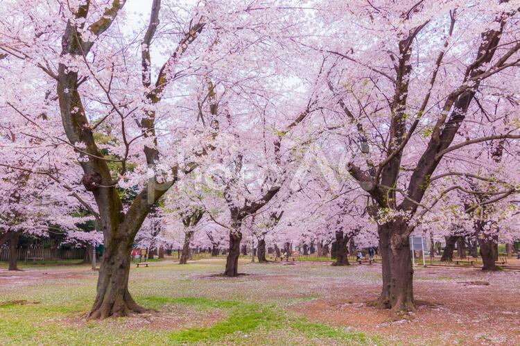 満開の大宮公園の桜の写真