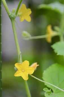 오이의 꽃