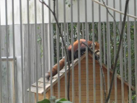 Small Panda That Lesser Panda