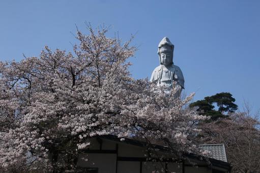 高崎白色觀音與櫻花