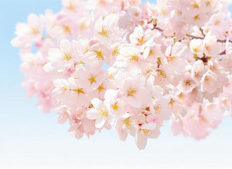Sakura 26