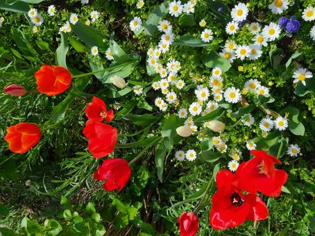 Spring flowerbed tulip and others