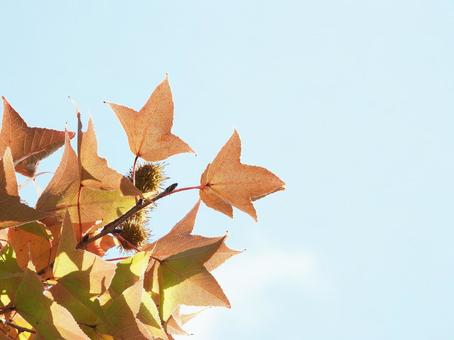 Autumn leaves, fruits and blue sky of Fuu (maple)