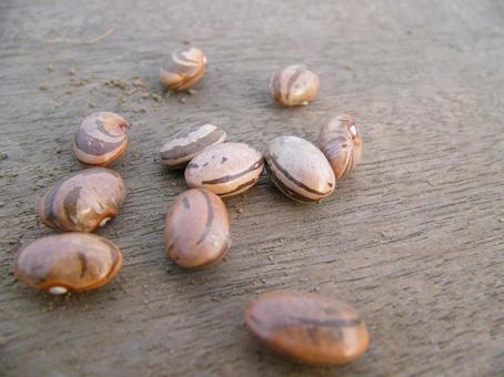 [領域]褐豆豆播種家庭花園天然植物景觀春天