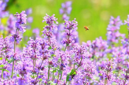 라벤더와 꿀벌