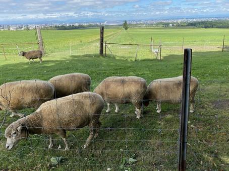 Sheep at Hitsujigaoka Observatory