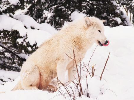 Wolf in winter 4