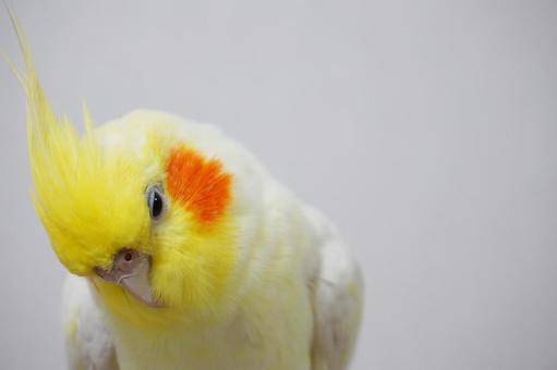 Cockatiel (worried face)