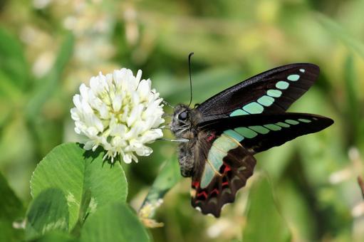 토끼풀과 청띠 제비 나비