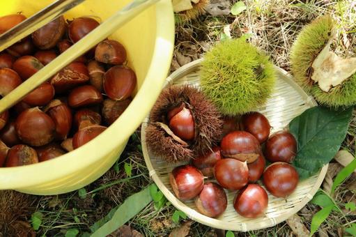 Chestnut picking bucket tongue