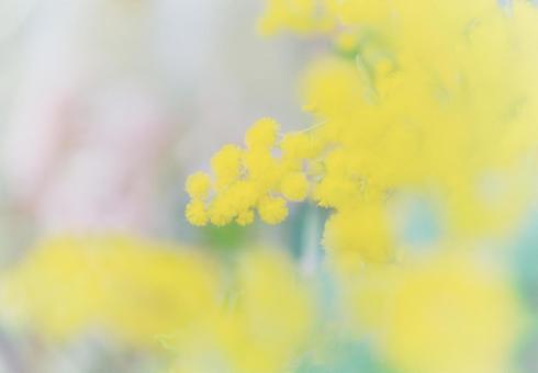 노란 미모사