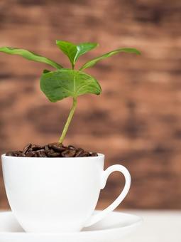 커피 나무 11