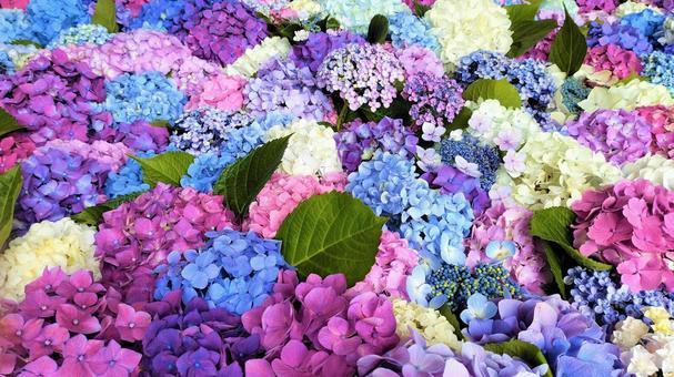 Hydrangea flower hand water 013