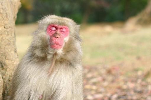 Monkey sleeping face