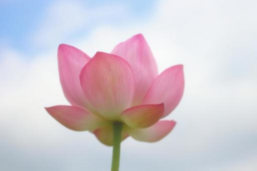 Lotus flower up 4