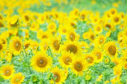 Sunflower field 85