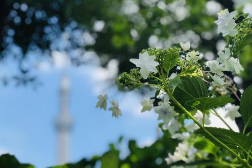 Hydrangea hydrangea overlooking the Sky Tree over there
