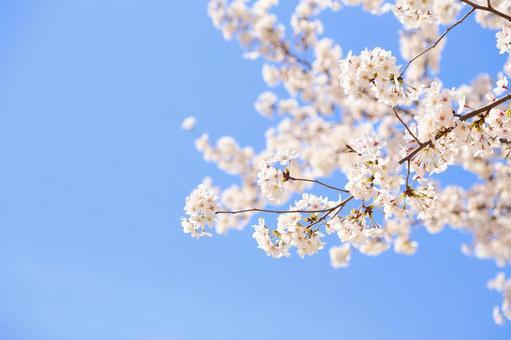 만개 한 벚꽃 17