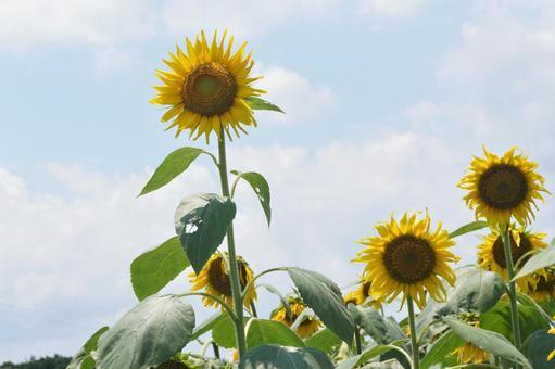 Sunflower flower looking up